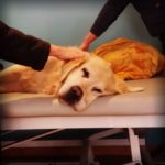 Physiotherapie für Golden Retriever